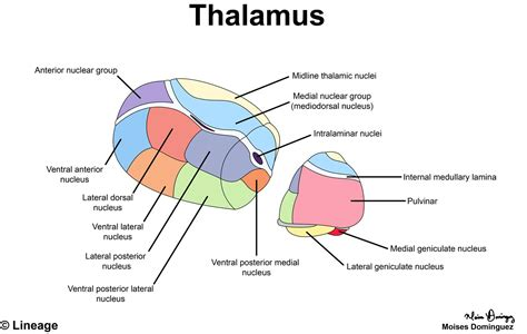 Thalamus - Neurology - Medbullets Step 1